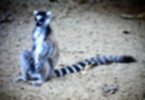 Ring-tailed Lemur 10a, Berenty, Madagasc