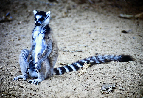 Ring-tailed Lemur 10a, Berenty, Madagasc