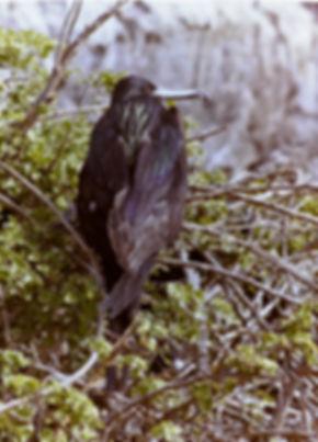 Great Frigatebird 04a, female, Tower, Ga
