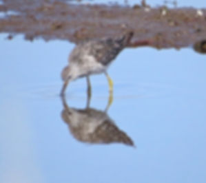 Lesser Yellowlegs 190326-20, Lodmoor.jpg