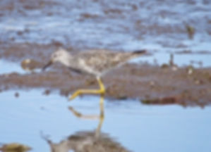 Lesser Yellowlegs 190326-03, Lodmoor.jpg