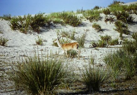 Red Deer 02a, Coto Donana, 9_81.jpg