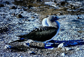 Blue-footed Booby 13a, North Seymour, Ga