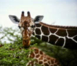 Reticulated Giraffe 05a, Kenya, 4_12_88.