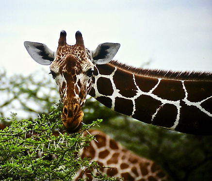 Reticulated Giraffe 05a, Kenya, 4_12_88.