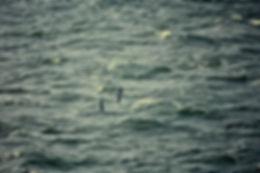Manx Shearwater 03a, Irish Sea, 16-8-81.