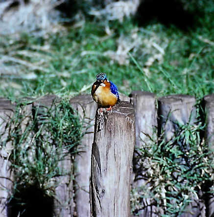 Madagascar Kingfisher 01a, Madagascar, 1