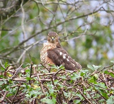 Sparrowhawk 28a, Portishead, 10_11_15.jp