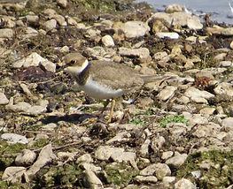 Little Ringed Plover 18913-16, juv, Slim