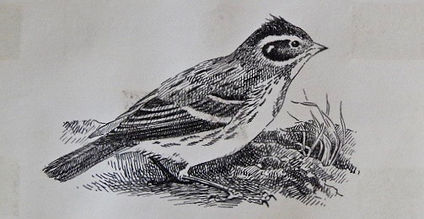 Rustic Bunting, LAT 01, St Marys, 15_10_