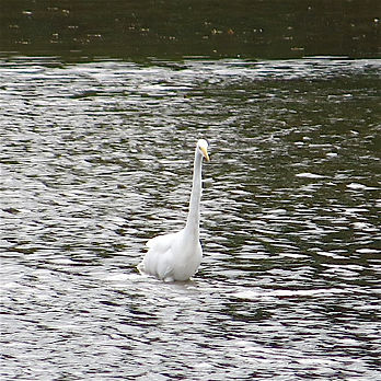 Great White Egret 170905, CVL, 29_9_17.j