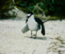 Sooty Tern 03a, Michaelmas Cay, Aust, 18