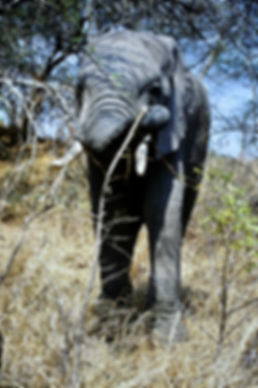 African Elephant 20a, Zimbabwe, 9_98.jpg