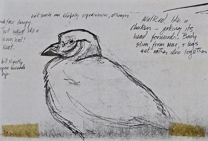Snowy Sheathbill, LAT 02, Plymouth, 26-9