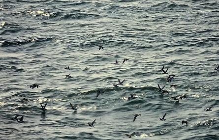 Manx Shearwater 02a, Irish Sea, 16-8-81.