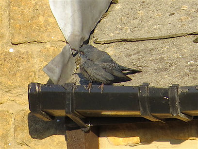 Blue Rock Thrush 11a, Stow-on-the-Wold,
