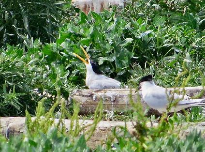 Elegant Tern 02, Cemlyn Bay, 8-7-21.jpeg