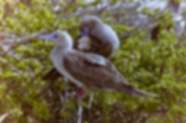 Red-footed Booby 06a, Tower, Galapagos,