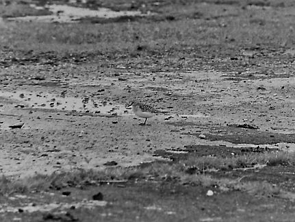 Baird's Sandpiper 09a, Davidstow, 27-9-8