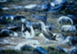 Blue-footed Booby 03a, Hood, Galapagos,