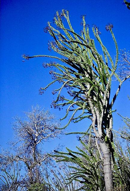 Octopus Tree 03a, Spiny desert, Hazofots