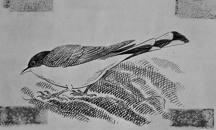 Yellow-billed Cuckoo, LAT 01, Portland,