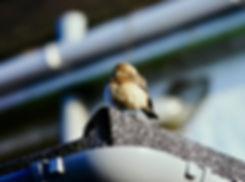 Pied Wheatear 04a, Torquay, 6-12-83.jpg