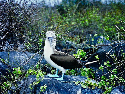 Blue-footed Booby 16a, Hood, Galapagos,