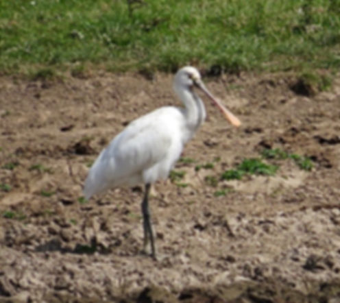 Spoonbill 180624-09, Slimbridge, 24_6_18