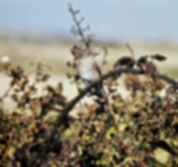 Spotted Flycatcher 01a, Portland, 19-9-7