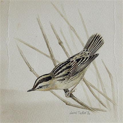 Aquatic Warbler, LAT 01, Marazion, 25_10