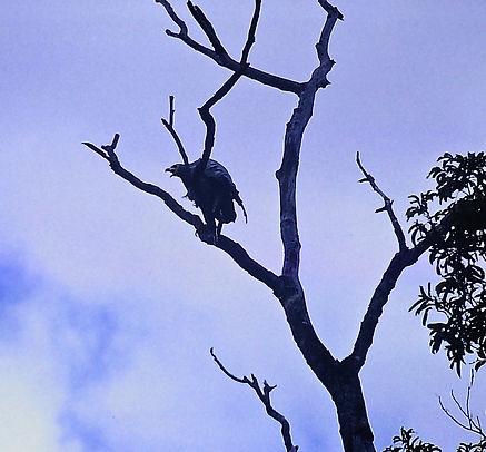 Madagascar Harrier-Hawk 02a, Berenty, 11
