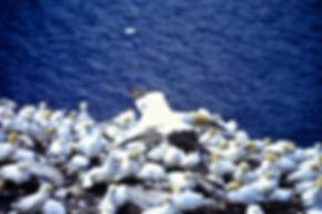 Gannet 07a, Bass Rock, 7-7-95.jpg