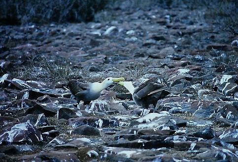 Waved Albatross 07a, Hood Galapagos, 25-