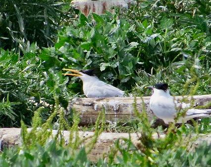 Elegant Tern 03, Cemlyn Bay, 8-7-21.jpeg