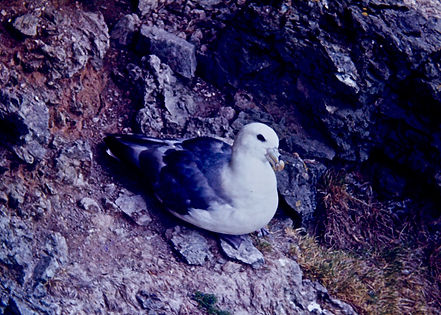 Fulmar 01, Shetland, 16-7-77.jpg