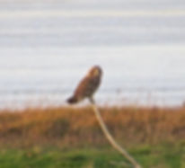 Short-eared Owl 190109-01, Aust Warth.jp