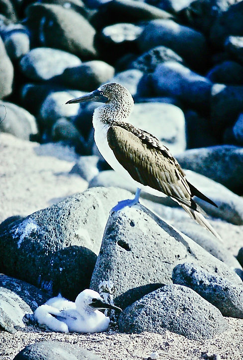 Blue-footed Booby 14a, Hood, Galapagos,