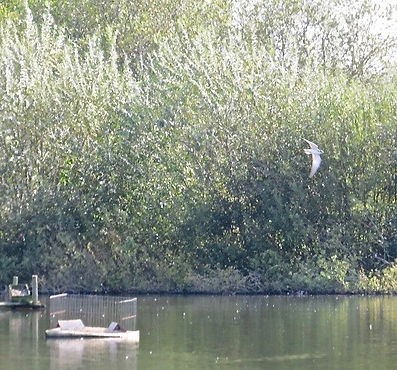 Black Tern, Slimbridge, 2_10_19.jpg
