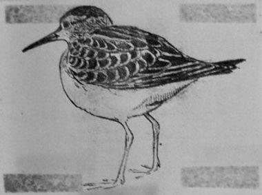 Pectoral Sandpiper, LAT 02, CVL, 7-9-80.