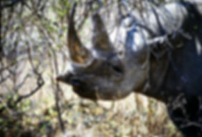 Black Rhinoceros 04a, Zimbabwe, 9_98.jpg