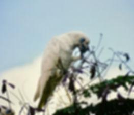 Little Corella 04a, Kakadu, 29_11_93.jpg