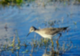 Lesser Yellowlegs 03a, Marazion, 18-10-8
