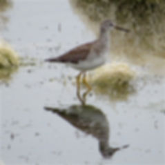 Lesser Yellowlegs 121a, Cheddar Res, 29_