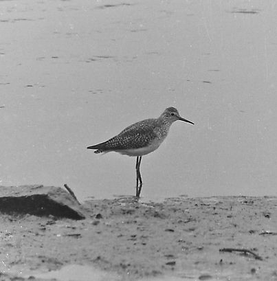 Lesser Yellowlegs 26a, Hackney Marsh, De