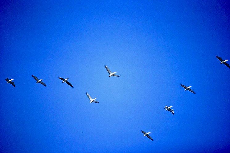 Dalmation Pelican 01a, & White Pelican,
