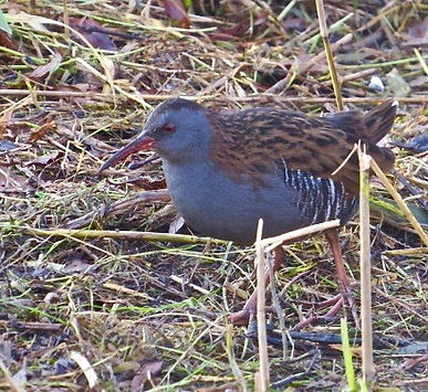 Water Rail 181122-4, Slimbridge.jpg