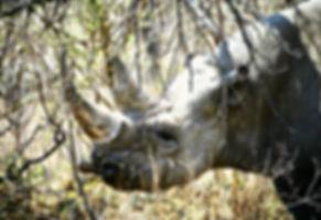 Black Rhinoceros 06a, Zimbabwe, 9_98.jpg