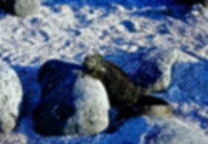 Marine Iguana 13a, North Seymour, Galapa