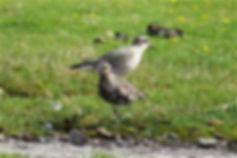 American Golden Plover 27a, Davidstow, 2